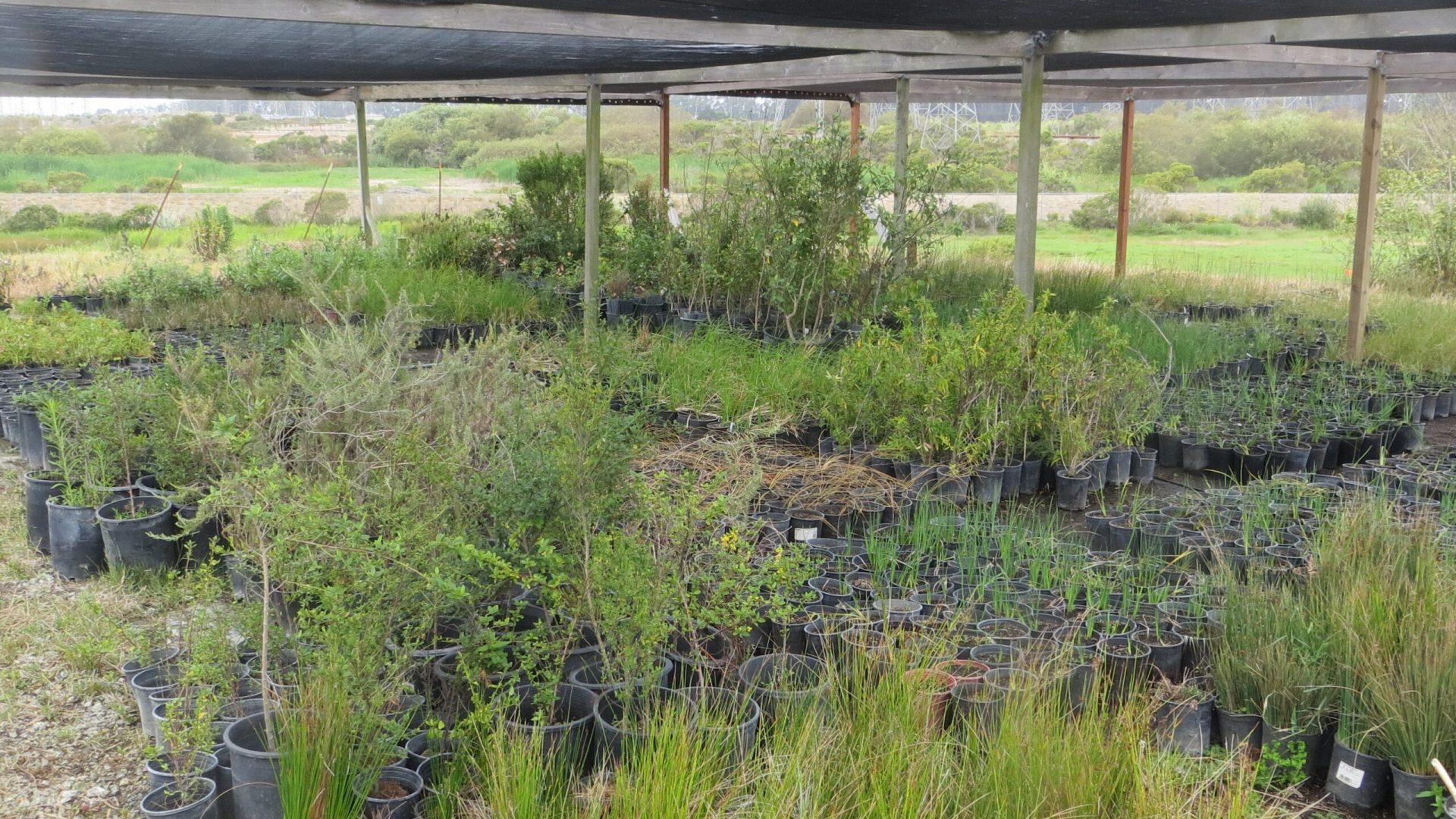 California native plants are hardened off for outplanting at restoration sites.